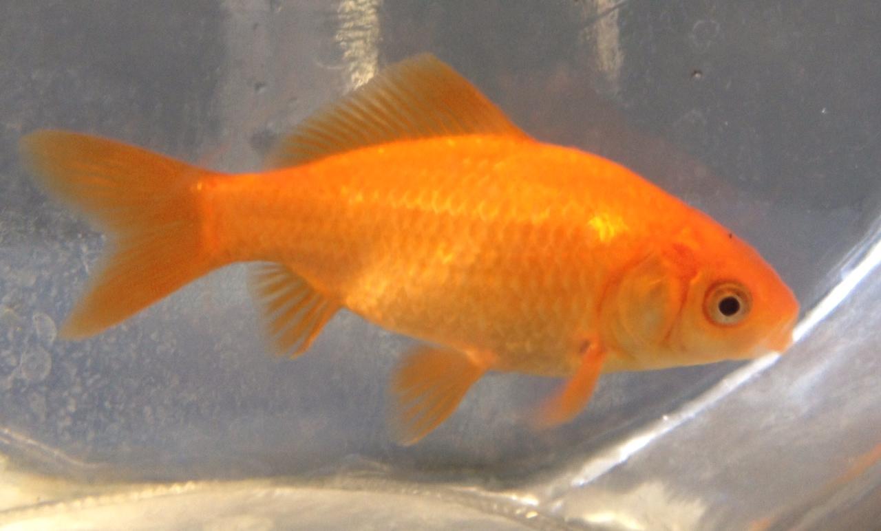 Standard Goldfish