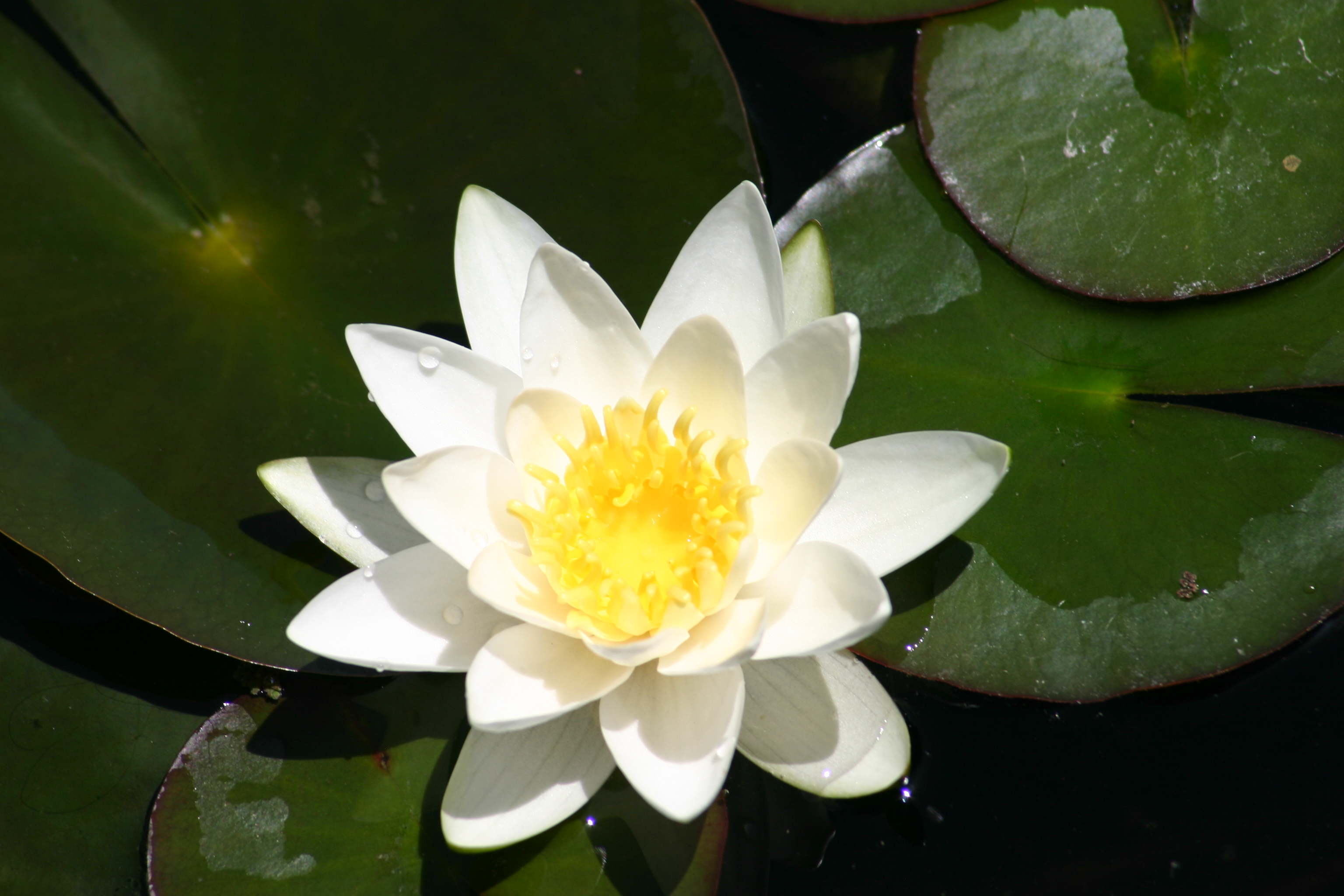 Van Ness Water Garden White Hardy Water Lilies