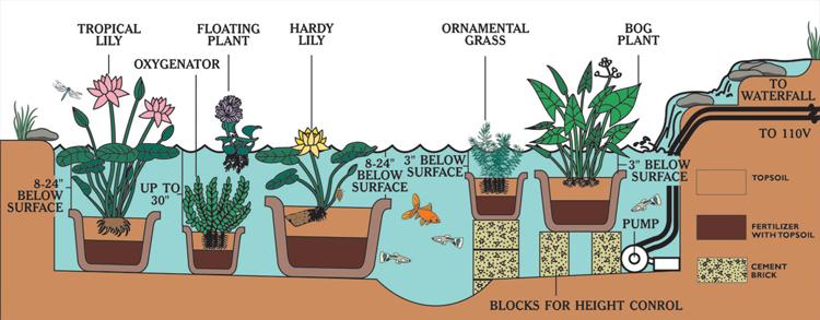 Van Ness Water Garden Pond Planting